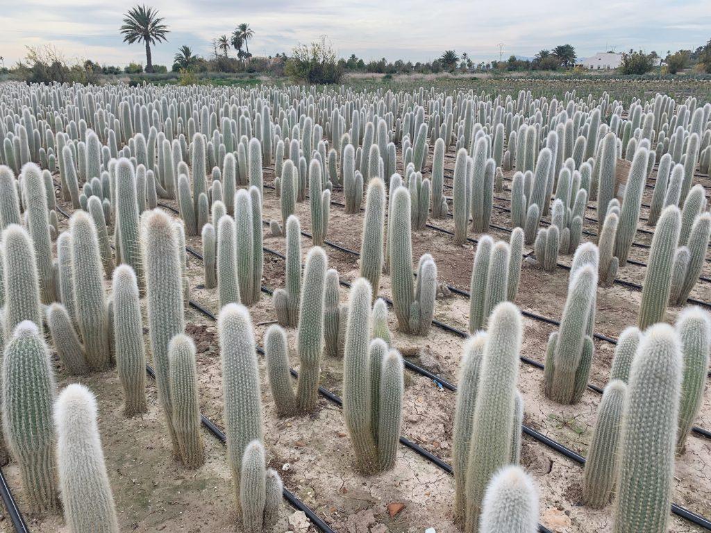 comprar plantas de vivero online, Cleistocactus strausii cuidados,
