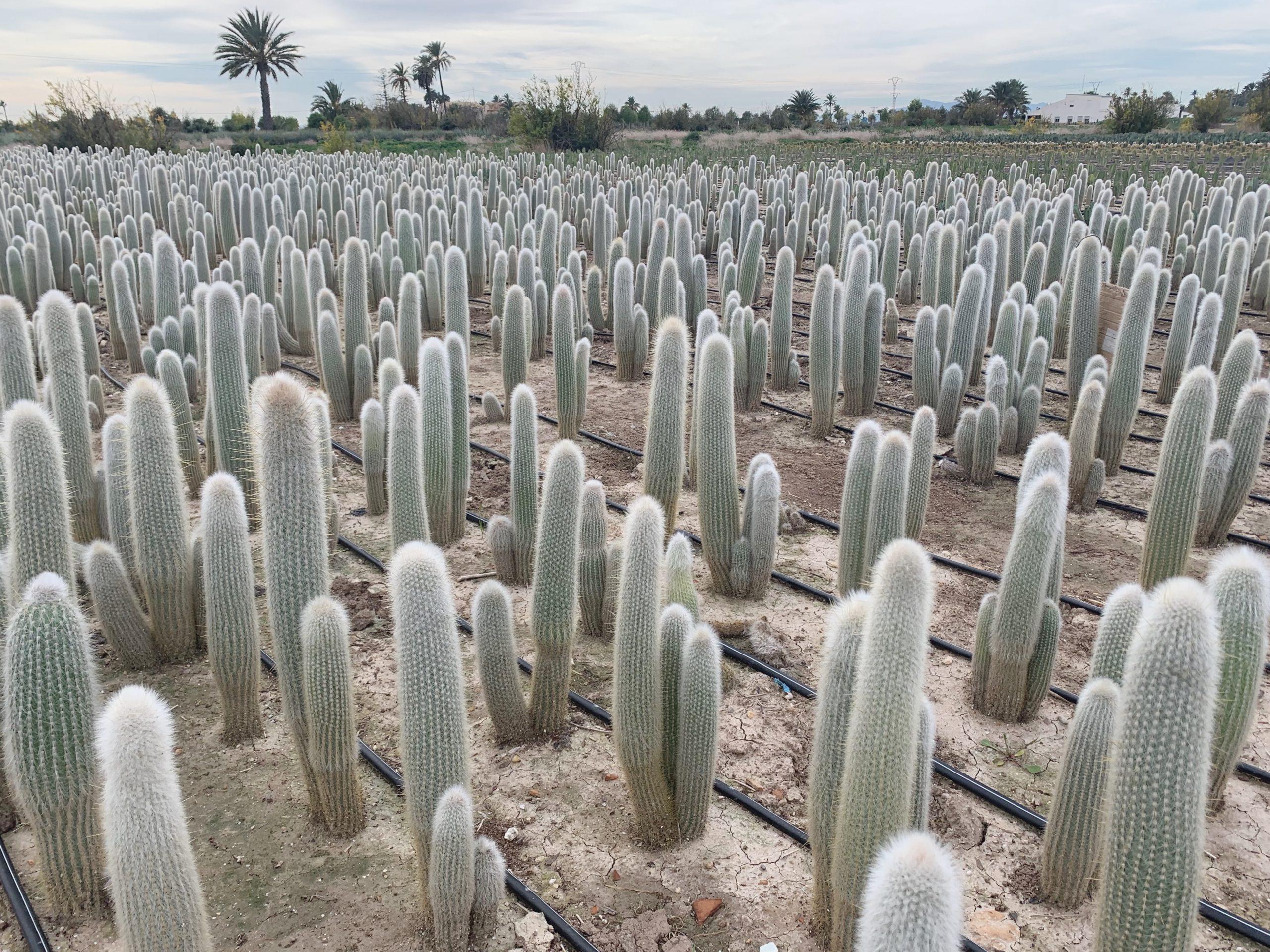 Cleistocactus strausii cuidados, luz, riegos, jardin postal