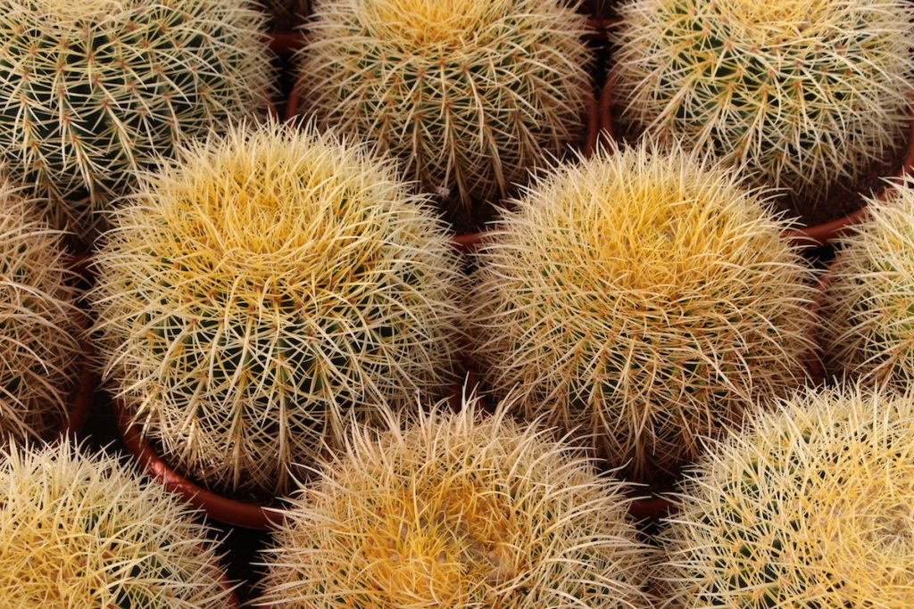 Echinocactus grusonii comprar online jardin postal cactus suculentas