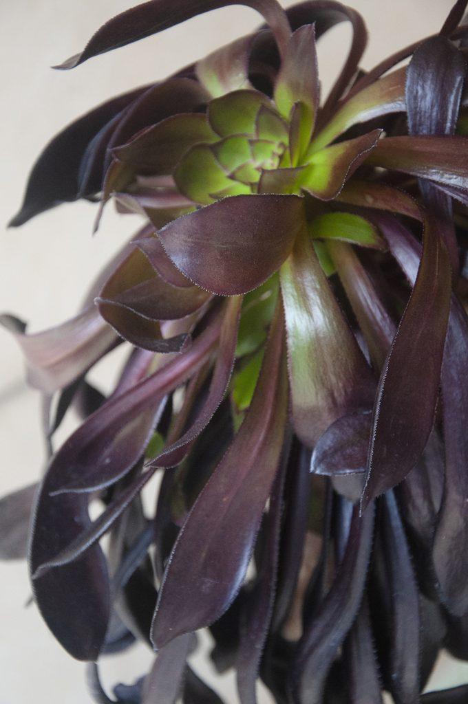 Aeonium arboreum comprar online jardin postal