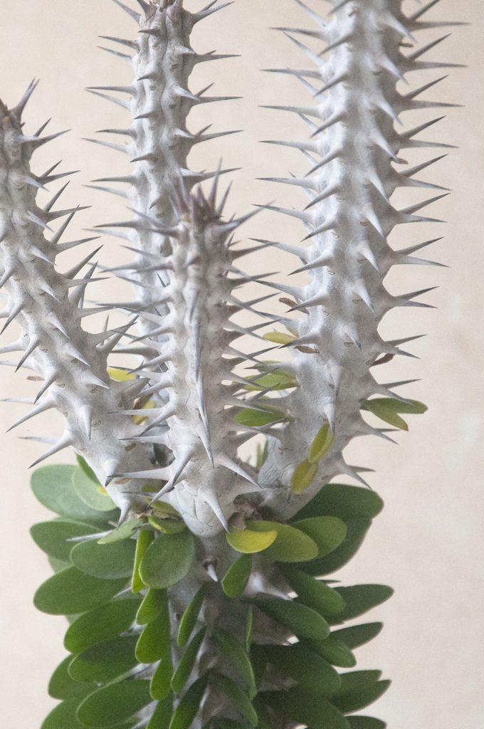 Alluaudia procera jardin postal comprar online cactus suculentas