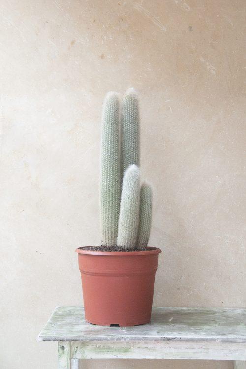 Comprar Cleistocactus strusii antorcha plateada cuidar, riegos, luz, jardín postal cactus suculentas