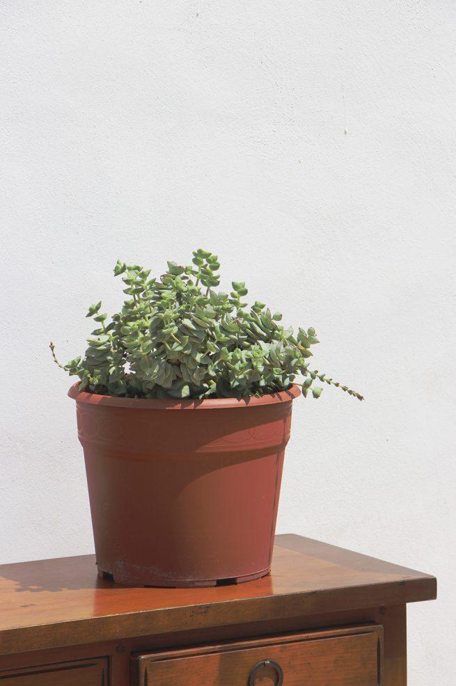 Crassula perforata (Collar de viña) suculenta jardin postal cactus vivero maceta