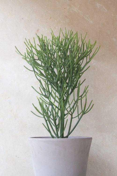 Euphorbia tirucalli comprar online jardin postal cactus suculentas