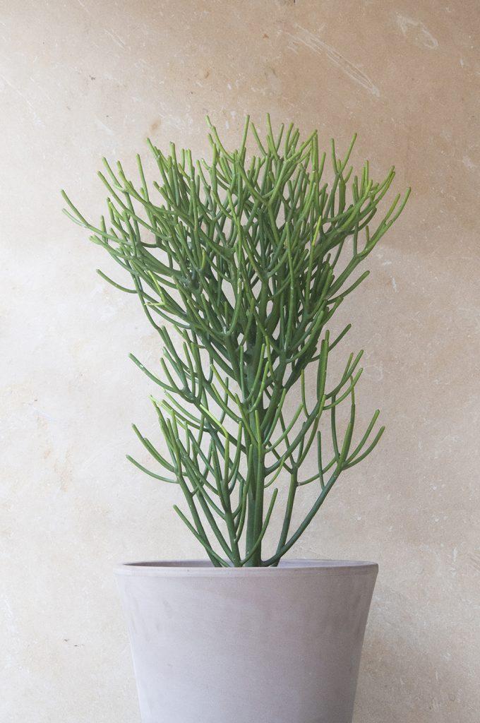 Euphorbia tirucalli comprar online jardin postal