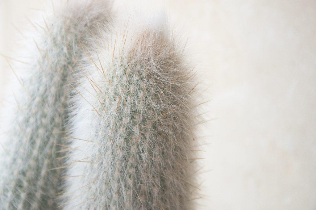 Cleistocactus strausii cuidados, luz, riego, comprar online, jardin postal