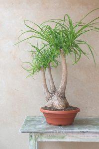 Comprar beaucarnea recurvata pata de elefante jardin postal cactus suculentas