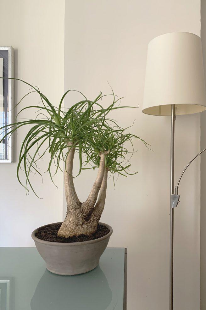 Beaucarnea recurvata Pata de elefante planta suculenta interior cactus jardin postal comprar online