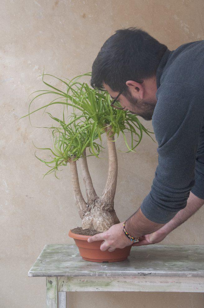 pata de elefante cuidados jardin postal Beaucarnea recurvata cactus suculentas comprar online