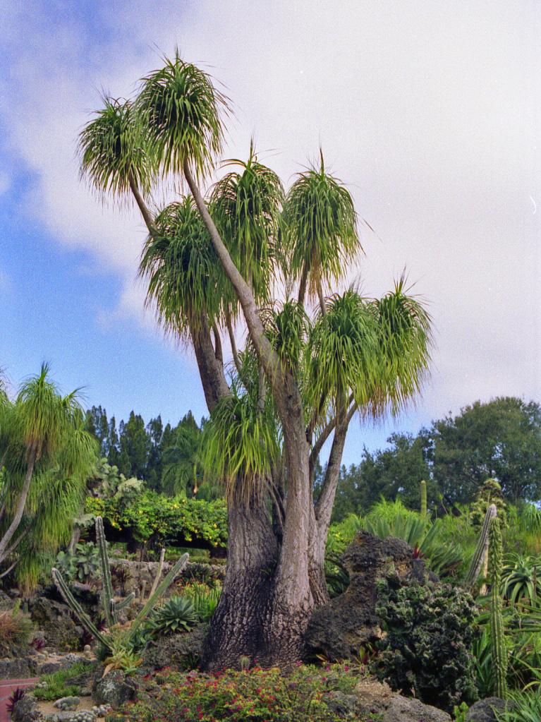 Beaucarnea recurvata adulta jardin postal