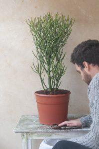 Euphorbia tirucalli Cuidar regar transplantar jardin postal