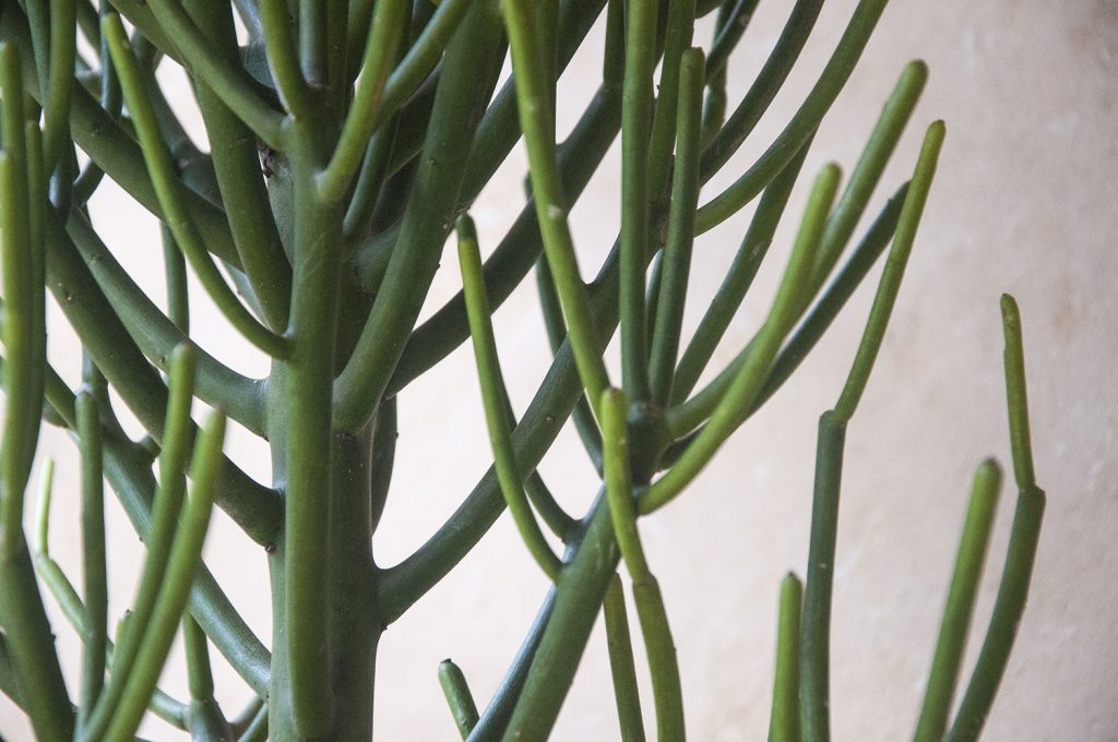 Comprar online Euphorbia tirucalli