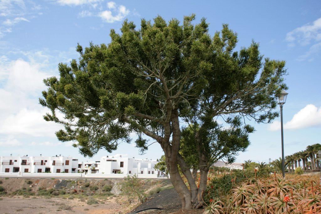 euphorbia tirucalli grande arbol jardin postal
