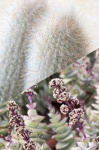 diferencias cactus y suculentas jardin postal