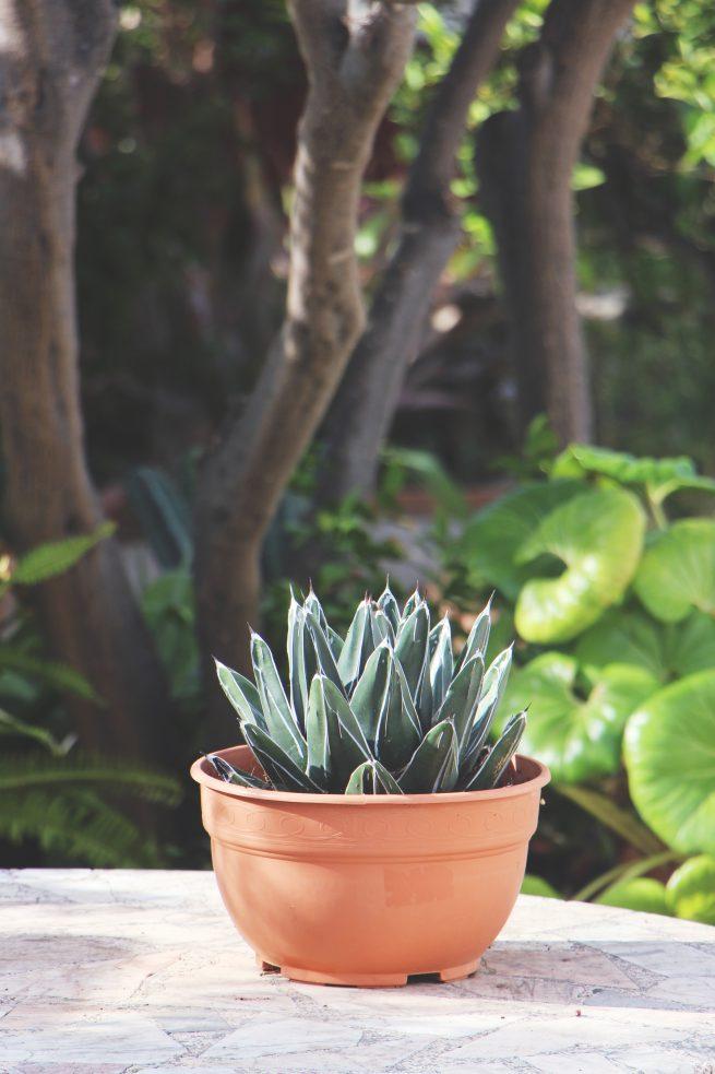Jardin postal Agave victoriae-reginae: Características y cuidados