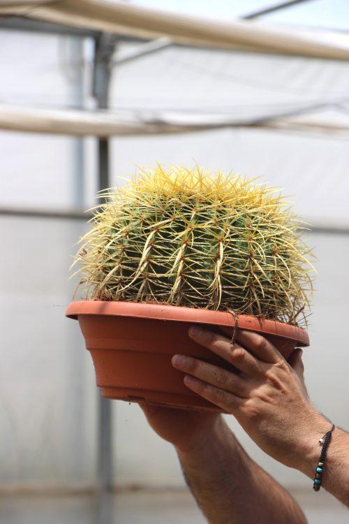 Echinocactus grusonii asiento de la suegra jardin postal comprar online cactus suculentas cuidados