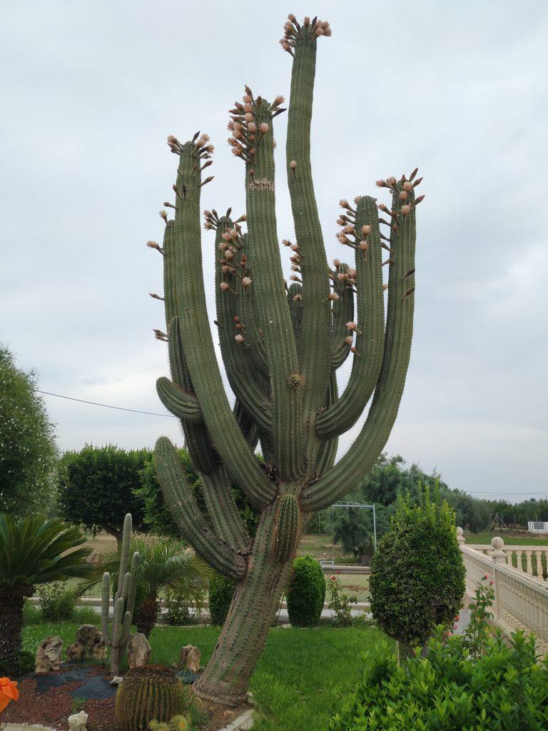 Comprar cactus grande online