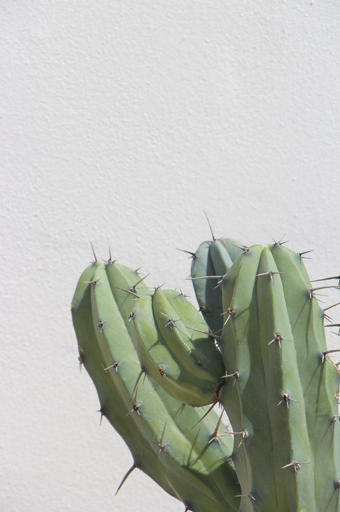 Myrtillocactus geometrizans (Garambullo) comprar online cactus y suculentas jardin postal