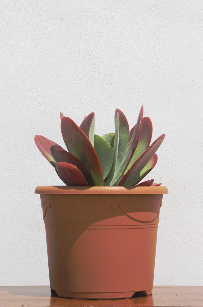 kalanchoa trhyrsiflora Caloncha tirsiflora comprar online cactus y suculentas jardin postal