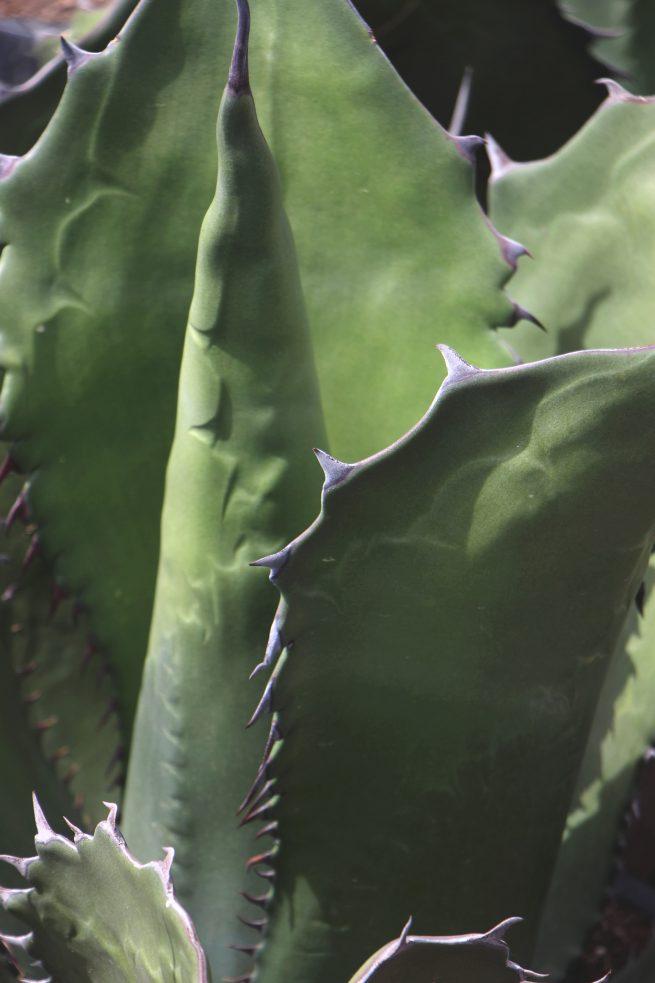 Agave Ferox jardin postal comprar online cactus suculentas