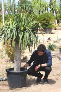 Dracaena Draco (Drago de Canarias): Cuidados y características Jardín postal cactus y suculentas