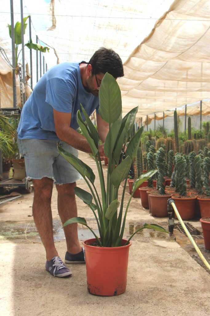 Strelitzia reginae comprar online jardin postal