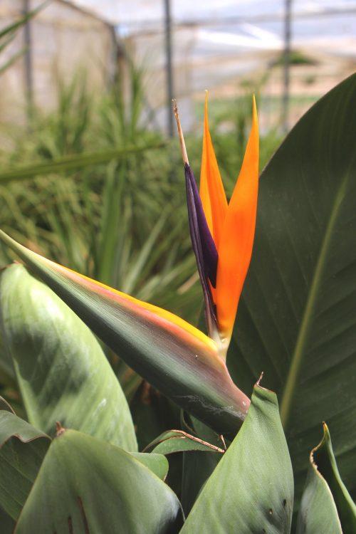 https://jardinpostal.com/producto/strelitzia-reginae-ave-del-paraiso