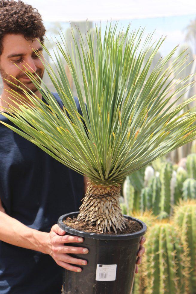 Comprar Yucca rostrata Jardín Postal