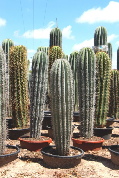 cactus natural grande comprar online jardin postal