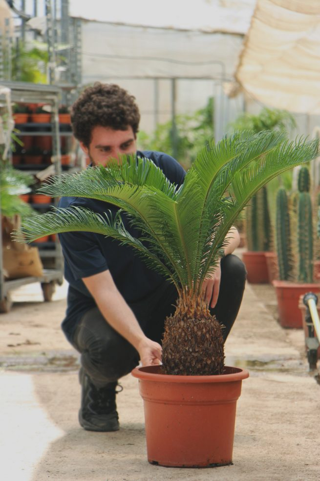 cycas revoluta cica cuidados palma de sagú jardin postal comprar online cactus suculentas palmeras