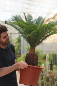 cycas revoluta cica palma de sagú jardin postal comprar online cactus suculentas palmeras