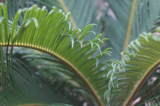 cycas revoluta cica palma de sagú jardin postal comprar online cactus suculentas palmeras hojas