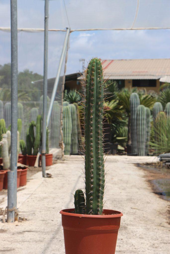 características del cactus San Pedro