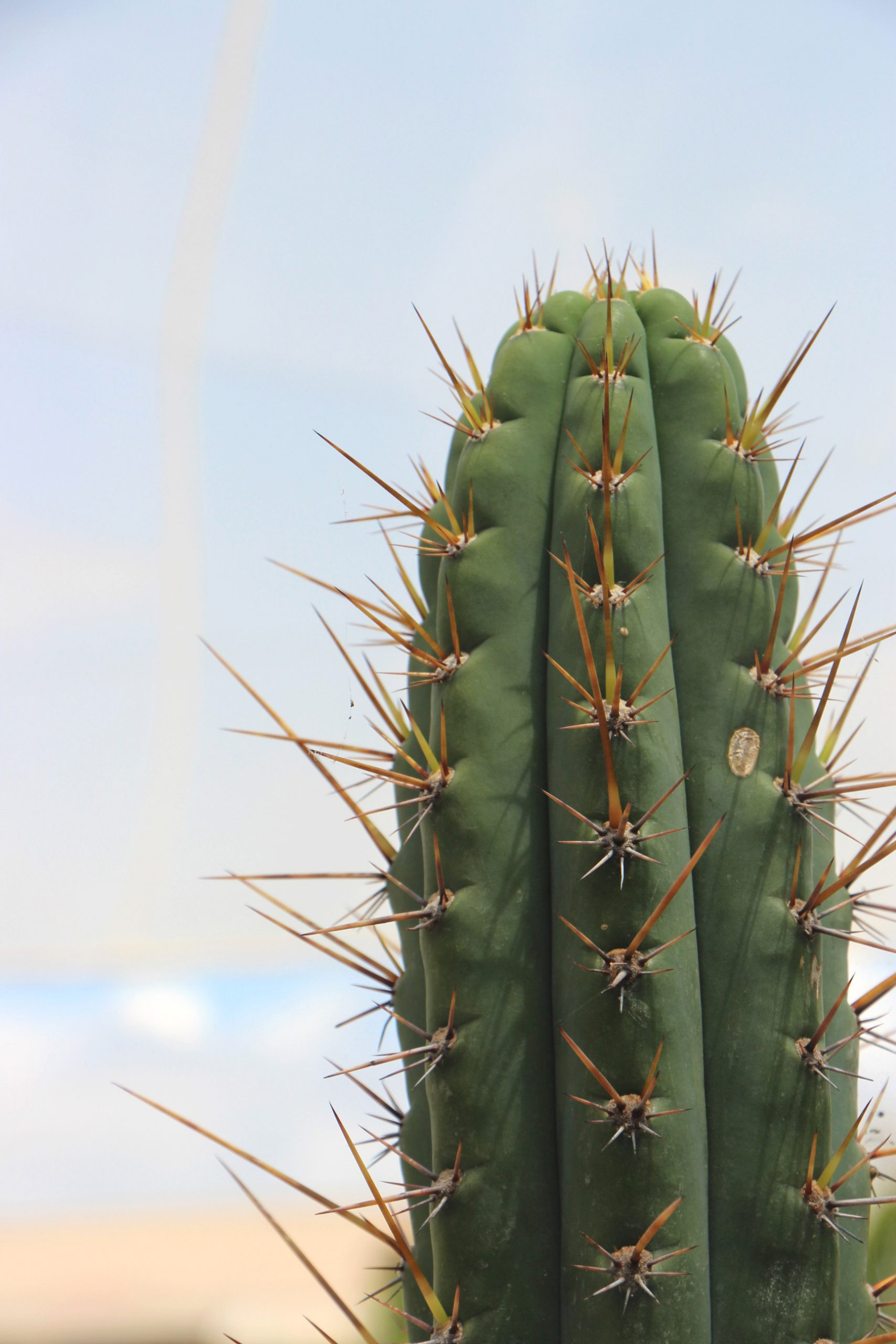 Comprar Cactus San Pedro Echinopsis pachanoi