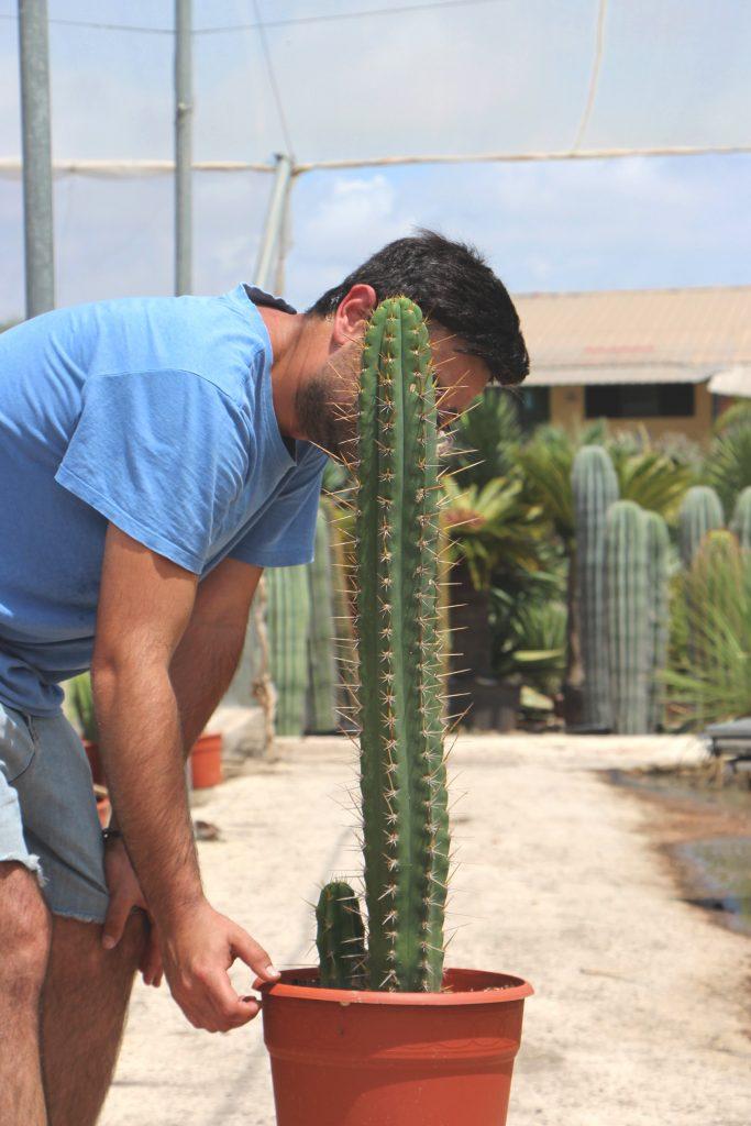características cactus San Pedro