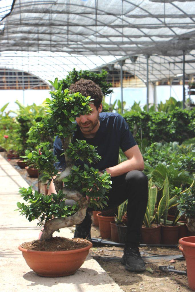 Ficus microcarpa ginseng Jardin postal