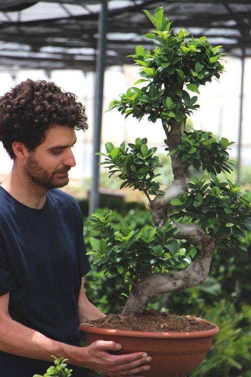 Comprar online ficus microcarpa ginseng jardin postal