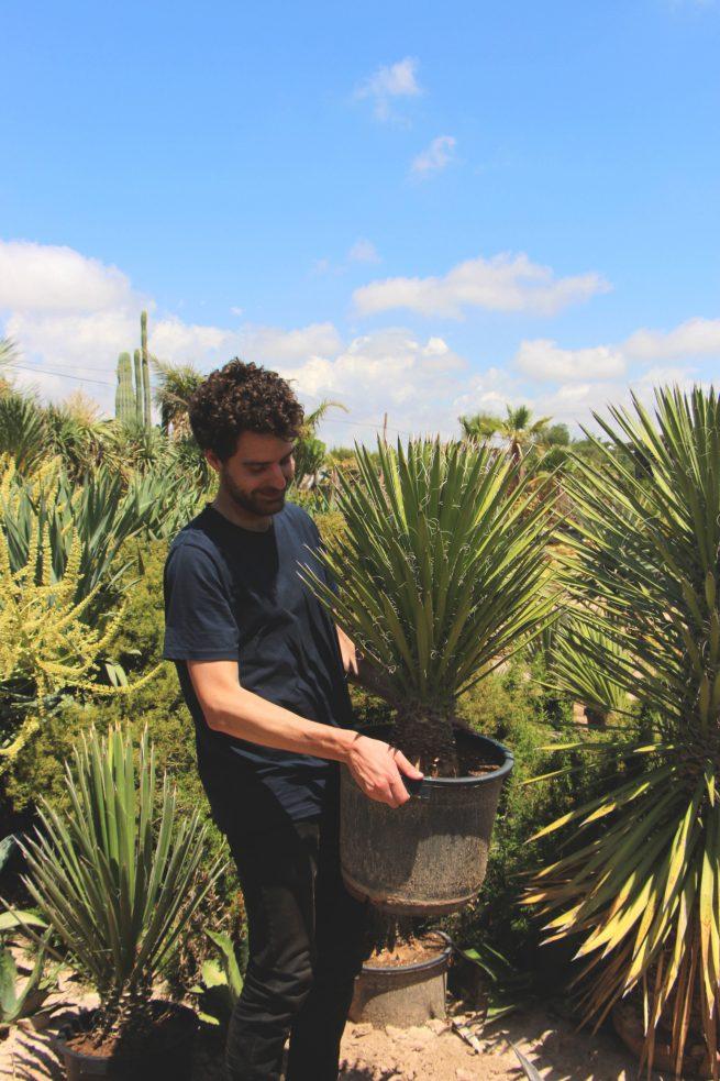 Yucca filifera comprar online jardin postal