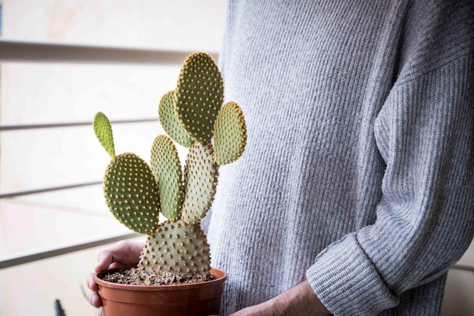 Cuidados características Opuntia Microdasys Nopalillo Jardin Postal