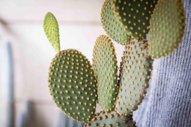 Opuntia microdasys cuidados y características comprar online