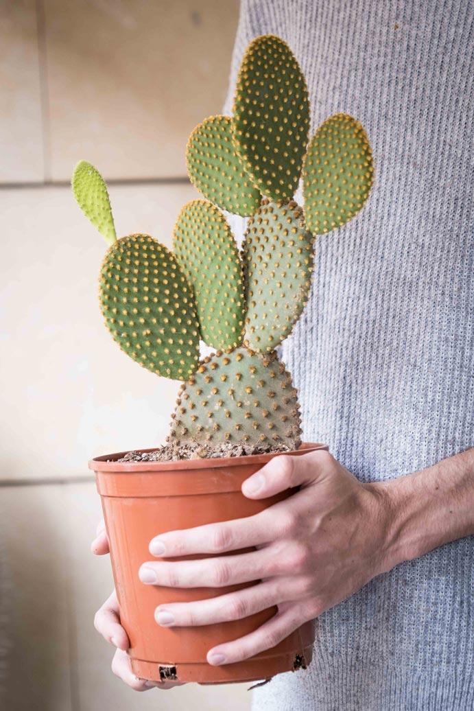 comprar online Opuntia Microdasys (Nopalillo) Jardin Postal cactus suculentas