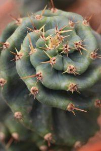 Comprar online cereus spiralis cactus espiral