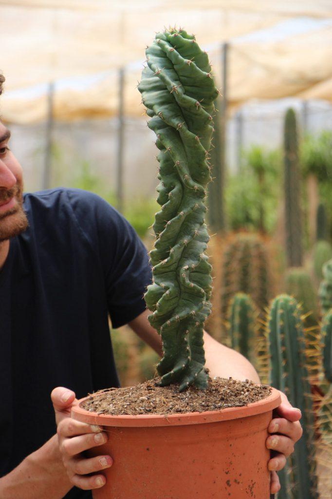 comprar online Cereus validus Spiralis (Cactus Vela Espiral) Jardin Postal cactus suculentas