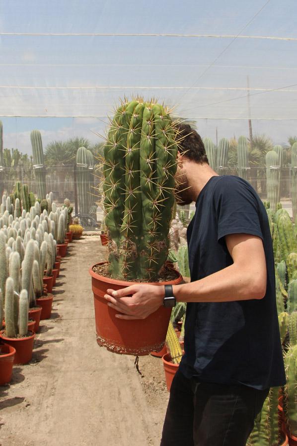 características cuidados Trichocereus pasacana Jardin Postal cactus suculentas
