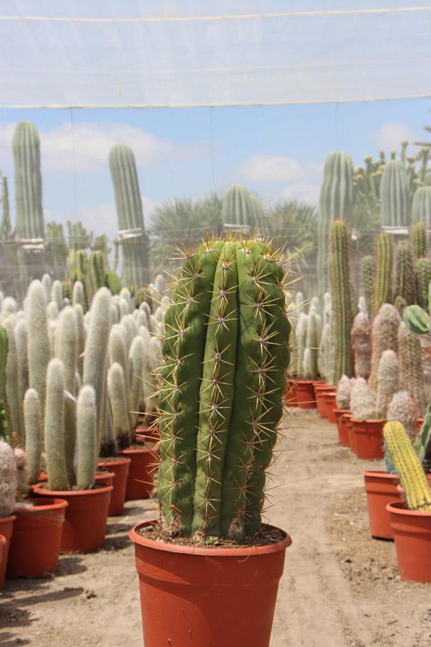 comprar online Trichocereus pasacana Jardin Postal cactus suculentas cuidados características