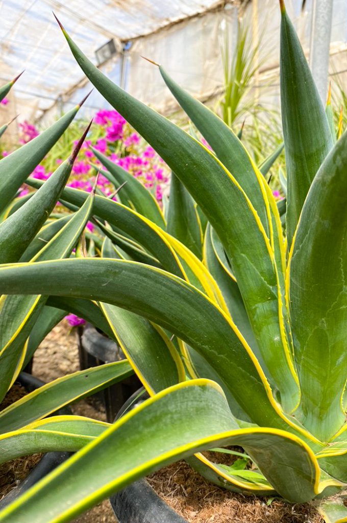 agave desmettiana variegata comprar jardin postal