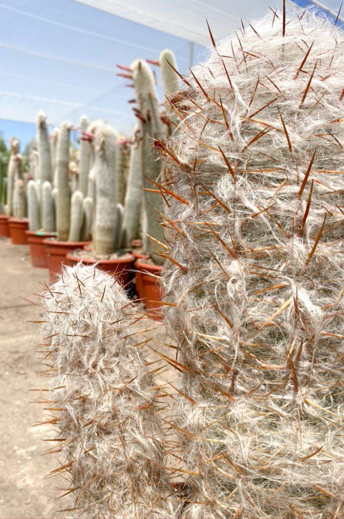 oreocereus trollii comprar cactus y suculentas