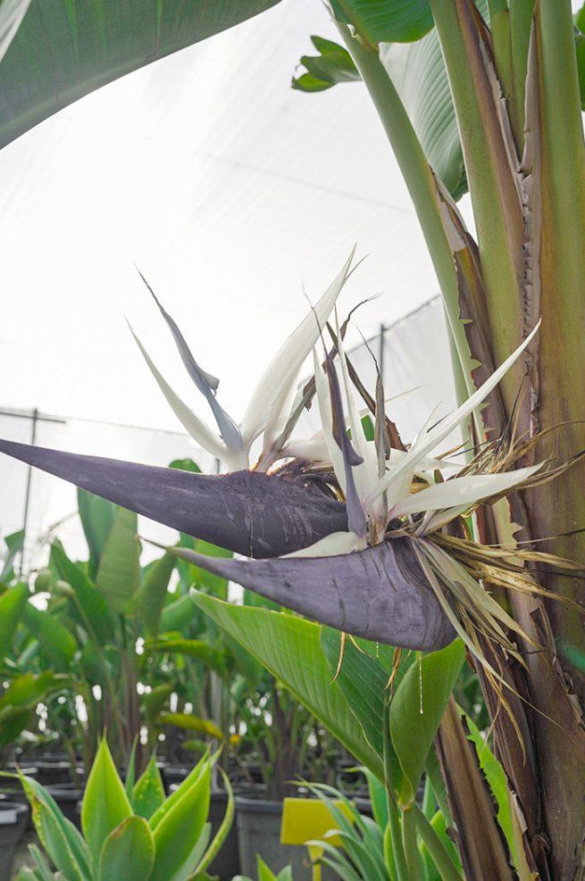 strelitzia augusta flor ave del paraiso