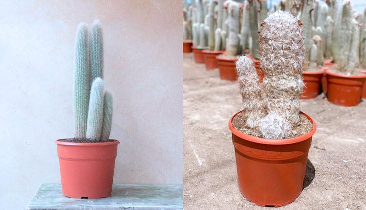 cactus más resistentes al frío