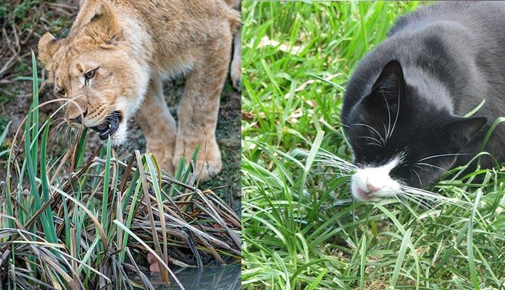 leon comiendo hierba